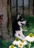 huskies-feature