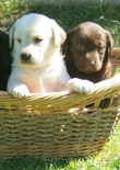 lab-puppies-feature