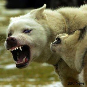 snarling_dog