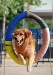 how-to-train-a-golden-retriever-feature