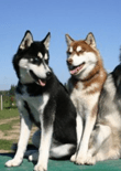 how-to-train-a-siberian-husky-feature