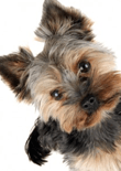 how-to-train-a-yorkie-feature