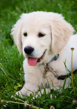 golden-retriever-puppy-training-feature